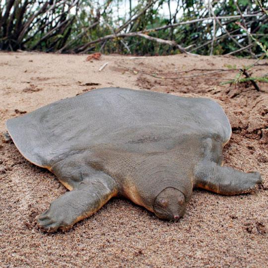 鼋是被列為瀕危絕種的保育類動物。 取自/維基百科