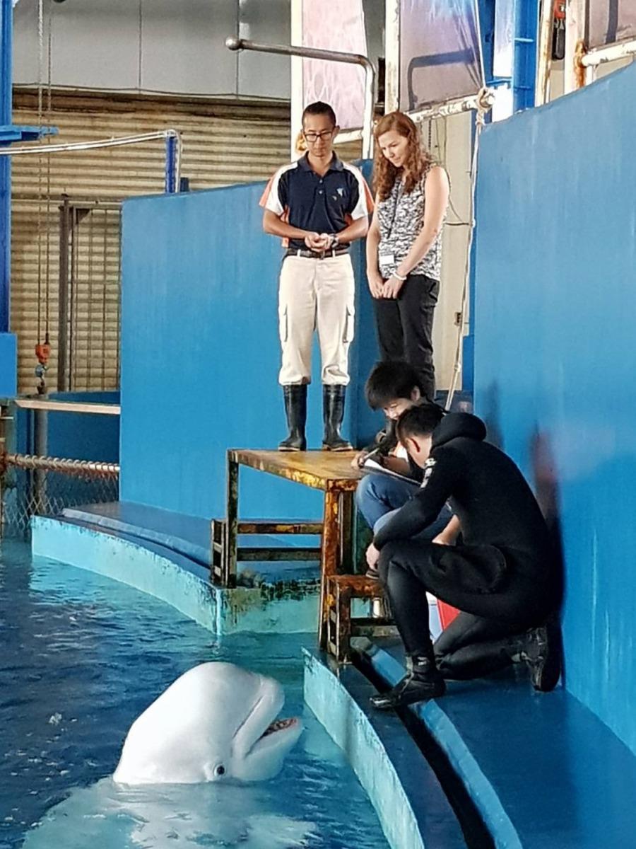 Dr. Allison觀摩海生館獸醫師及保育員如何照護白鯨。 海生館/提供