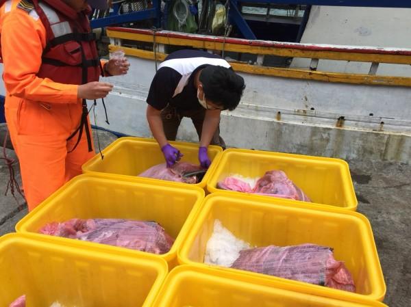 岸巡人員查獲6大袋、共283公斤被肢解的瓶鼻海豚肉。 台灣動物新聞網資料照片海巡第一岸巡隊/提供