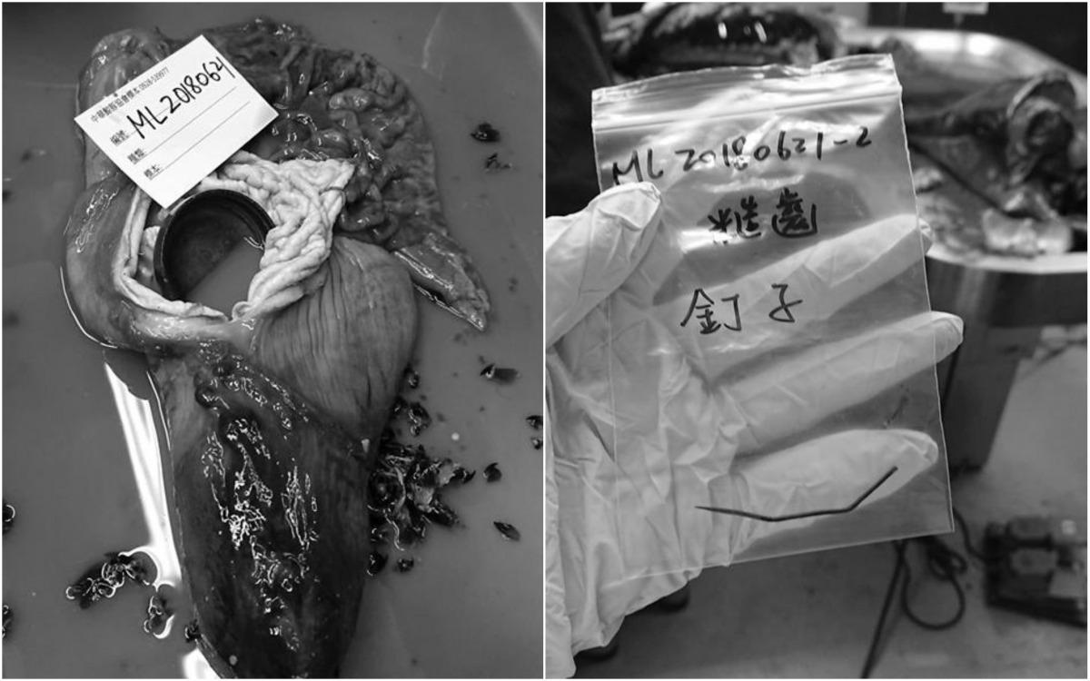 擱淺死亡的糙齒海豚解剖後在胃中發現鐵釘以及塑膠瓶蓋。 取自/海洋公民基金會