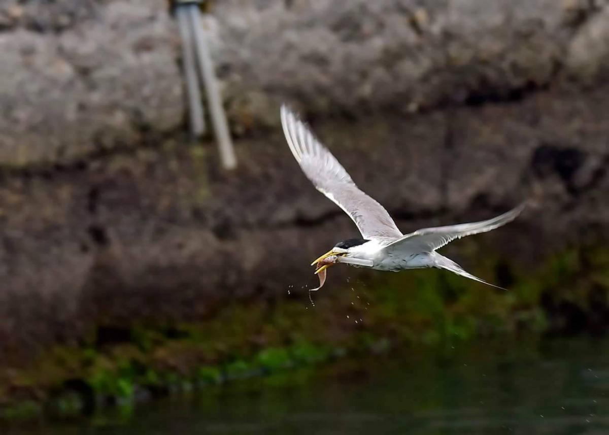鳥友認為這隻鳳頭燕鷗為人類上了一課,希望大家一起減塑保護生態。拍鳥俱樂部吳姓鳥友/提供