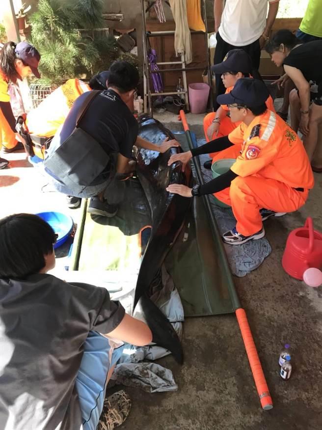 獸醫以及海巡人員借用民宅暫時用來搶救擱淺的小抹香鯨。 中華鯨豚協會/提供