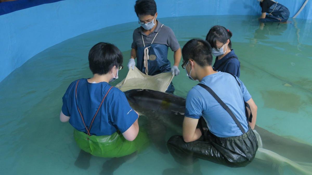野放後又擱淺的糙齒海豚經過安置以及搶救後仍不幸死亡。 取自/中華鯨豚協會