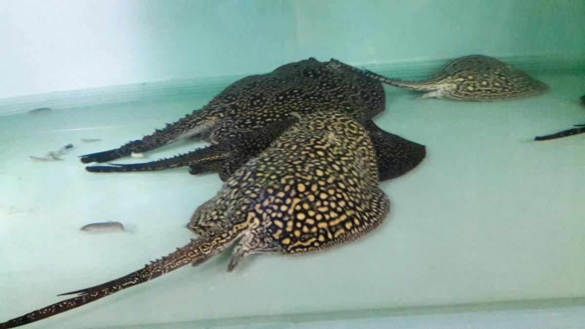 魟魚的毒性強,應盡量避免在有魟魚出沒的區域活動。 新北市動保處/提供