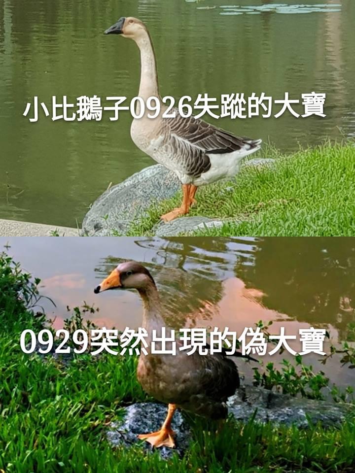 「大寶」失蹤後大湖公園多了一隻成鵝,懷疑是想要掩人耳目。 溫芳玲/提供