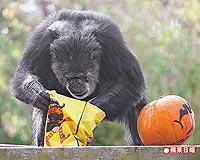 猩猩扔大便gif-大猩猩要钱-大猩猩要钱表情包-扔大便图片图片
